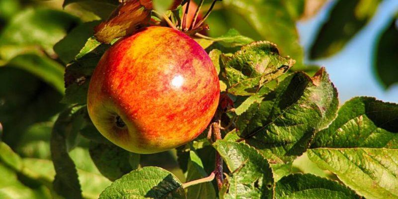 apple on the tree - SleepSharp