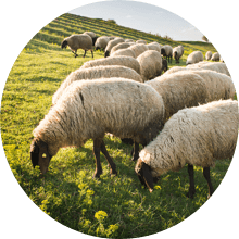 organic certified wool avocado mattress - SleepSharp
