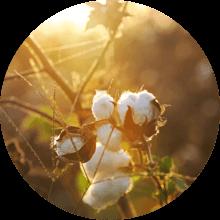 organic cotton avocado mattress - SleepSharp